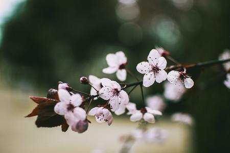 Close up of small pink flowers of Prunus cerasifera