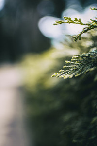 green leaves close up of cupressus in nature