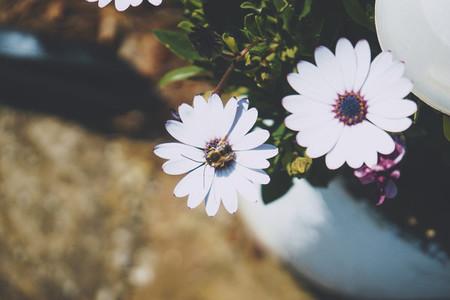 Little bee over a daisy