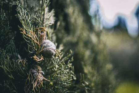 cone close up of cupressus in nature with unfocused background