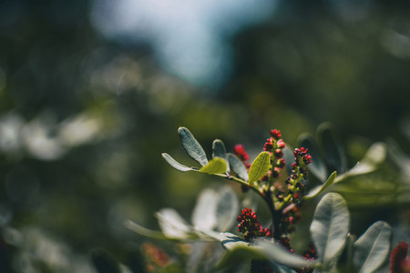 green leaves and red berries seen up close of a pistacia lentiscus