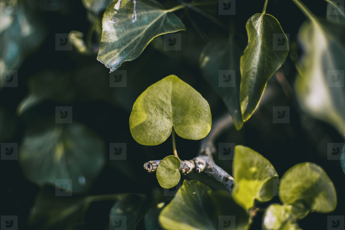 young flower of ivy