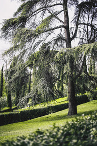 Majestic cedar in a park on the outskirts of barcelona