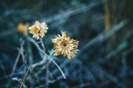 helichrysum flower in nature outdoors