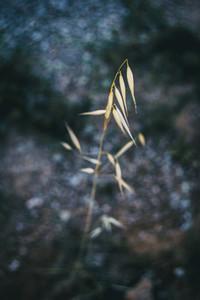 a single dry yellow spike of oats in a field