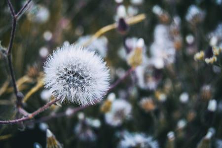 senecio flower in nature outdoor