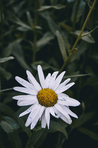 leucanthemum flower in nature outdoors