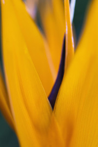 Macro shot vibrant yellow and purple flower petal