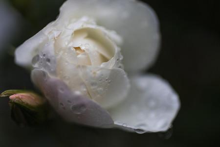 Extreme close up raindrops on beautiful white rose