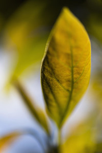 Extreme close up yellow leaf