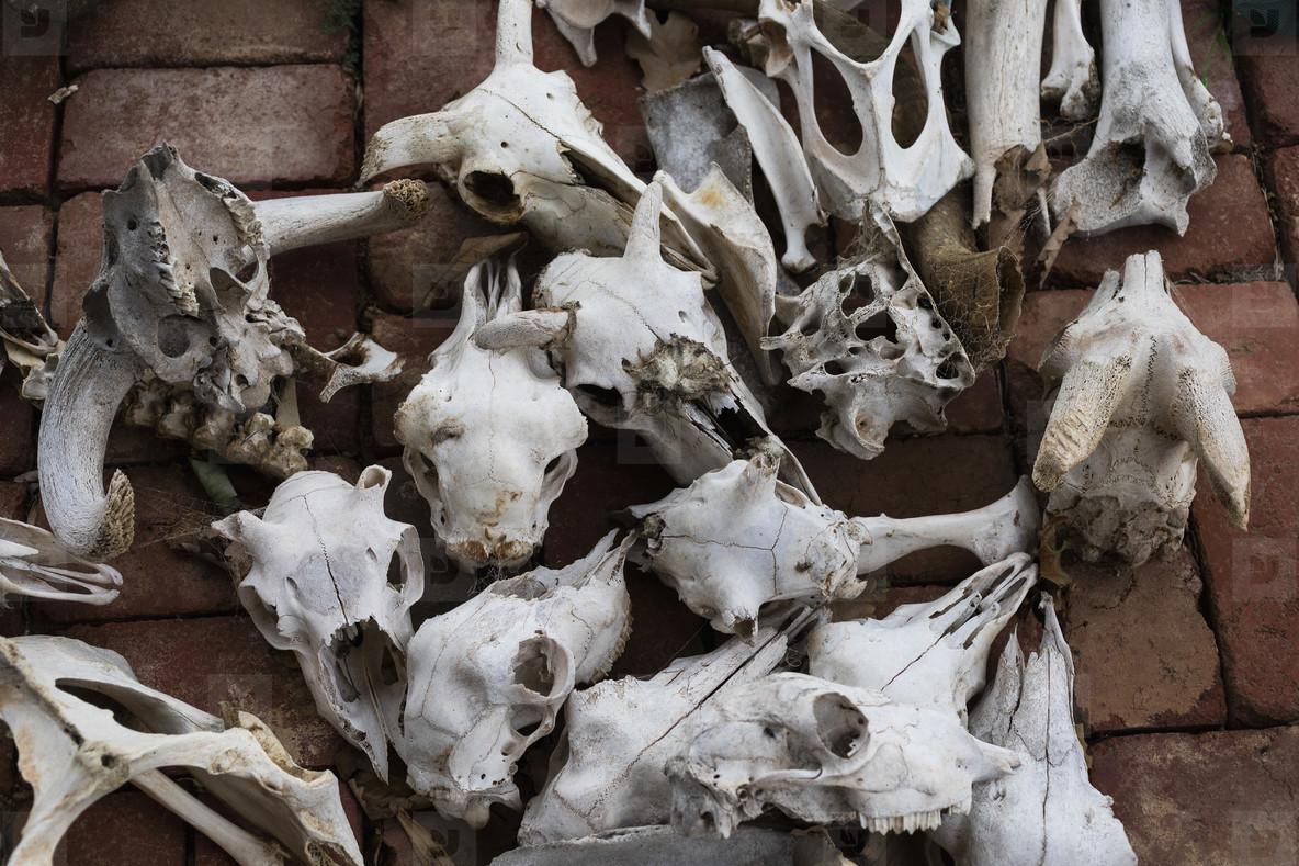 Variety of animal skulls and bones
