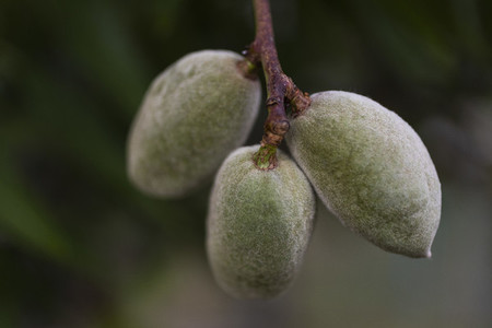 Close up almonds growing on branch