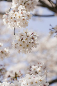 Close up beautiful delicate white cherry blossoms