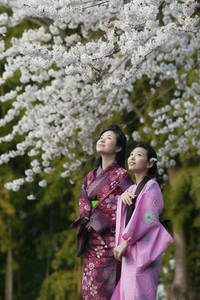 Beautiful young women in Japanese kimonos below cherry blossom branches