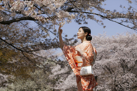 Beautiful young woman in Japanese kimono below cherry blossom trees