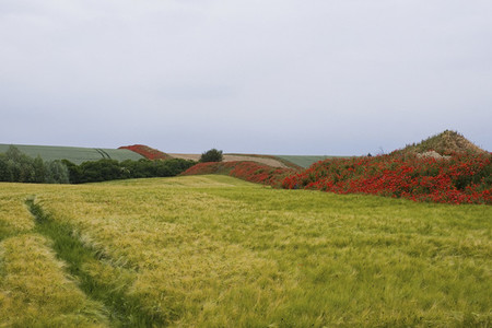 Red wildflowers growing along rolling rural farmland