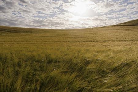 Sunny scenic view beautiful idyllic rural barley field Denmark