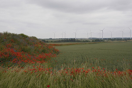 Red poppies growing along farmland with wind turbines in the distance