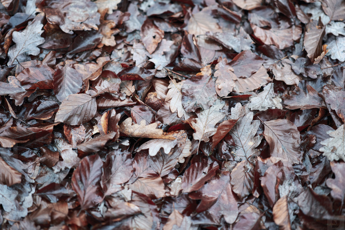 Wet brown autumn leaves