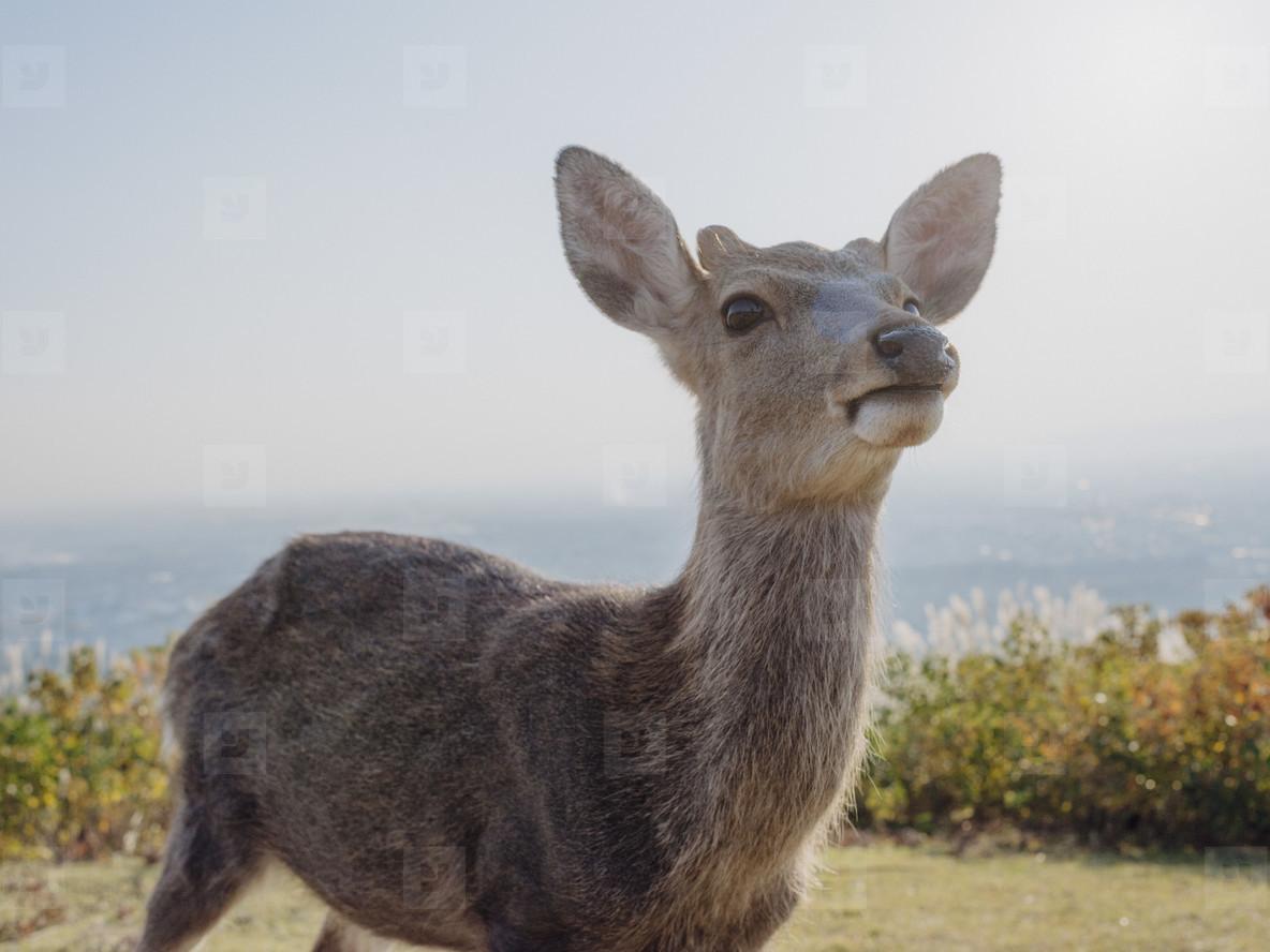 Close up portrait curious deer Nara Park Nara Japan