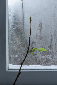 Plant branch and bud growing at icy winter window