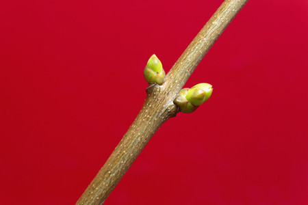 Close up buds growing on branch against red background