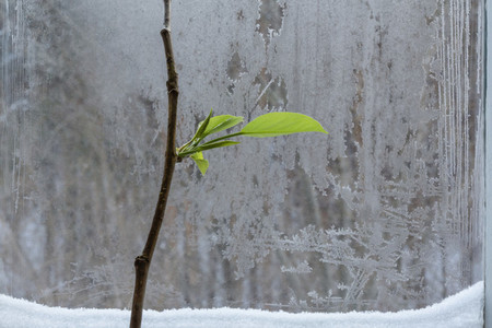 Branch with leaves at icy winter window