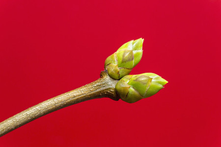 Close up buds on branch against red background