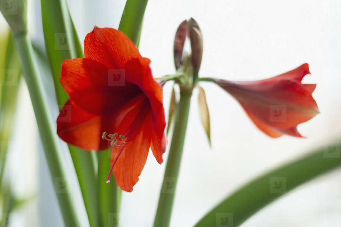 Beautiful red amaryllis plant on white background