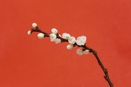 Beautiful white cherry blossom stem on red background