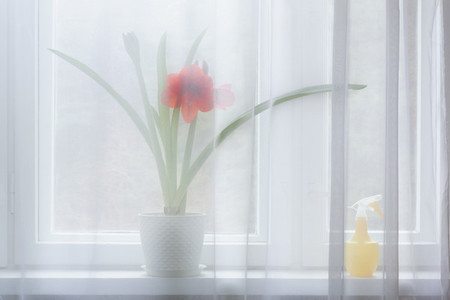 Potted red amaryllis flower behind sheer curtain in window