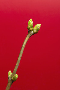 Close up green buds on stem against red background
