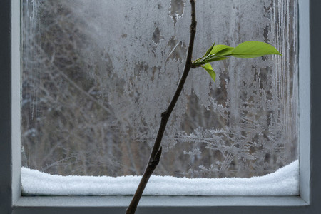 Plant branch with leaves at icy winter window