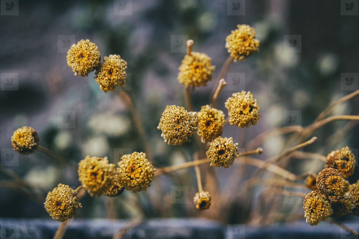small  yellow  half dried santolina flowers