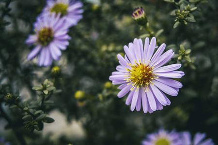 lilac pollen filled aster flower