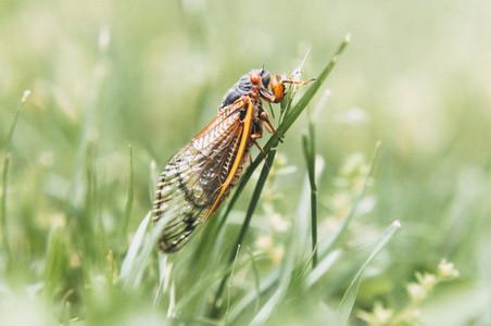 Brood X Periodical Cicada