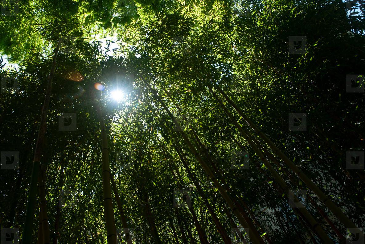 Bamboo Forest Sun