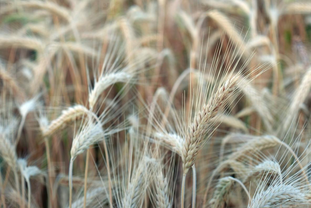 Wheat Field  6