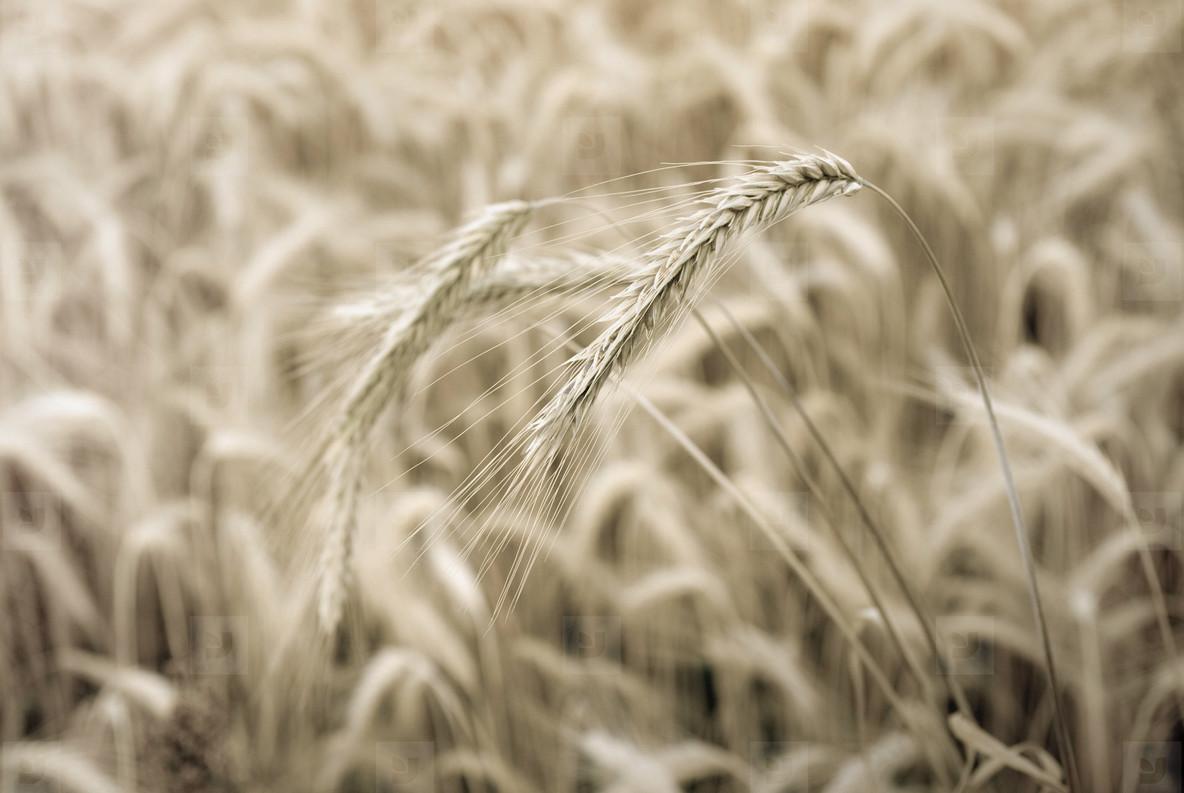 Wheat Field  8
