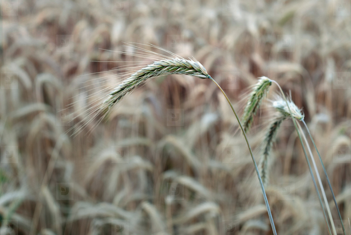 Wheat Field  7