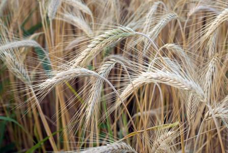 Wheat Field 10