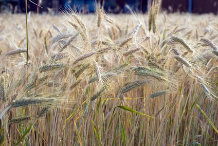 Wheat Field 11