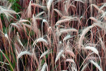 Wheat Field 9