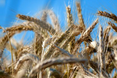 Wheat Field 4