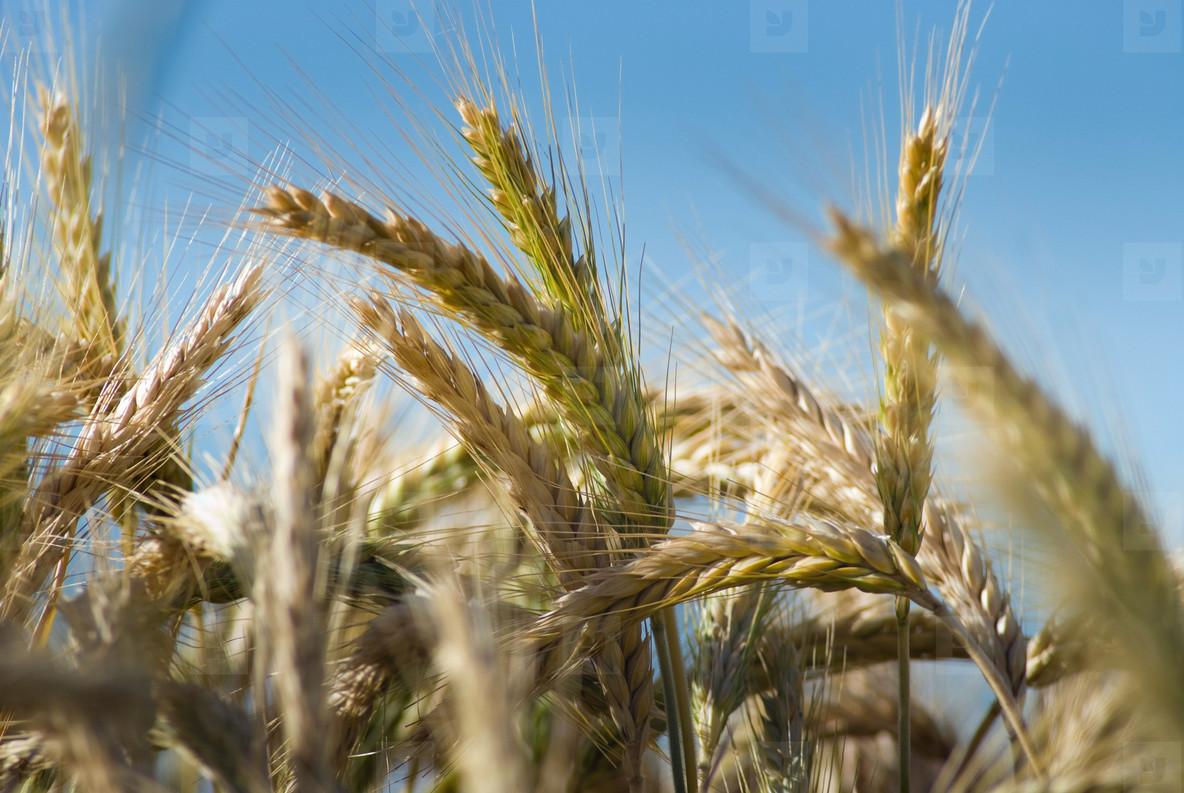 Wheat Field  3