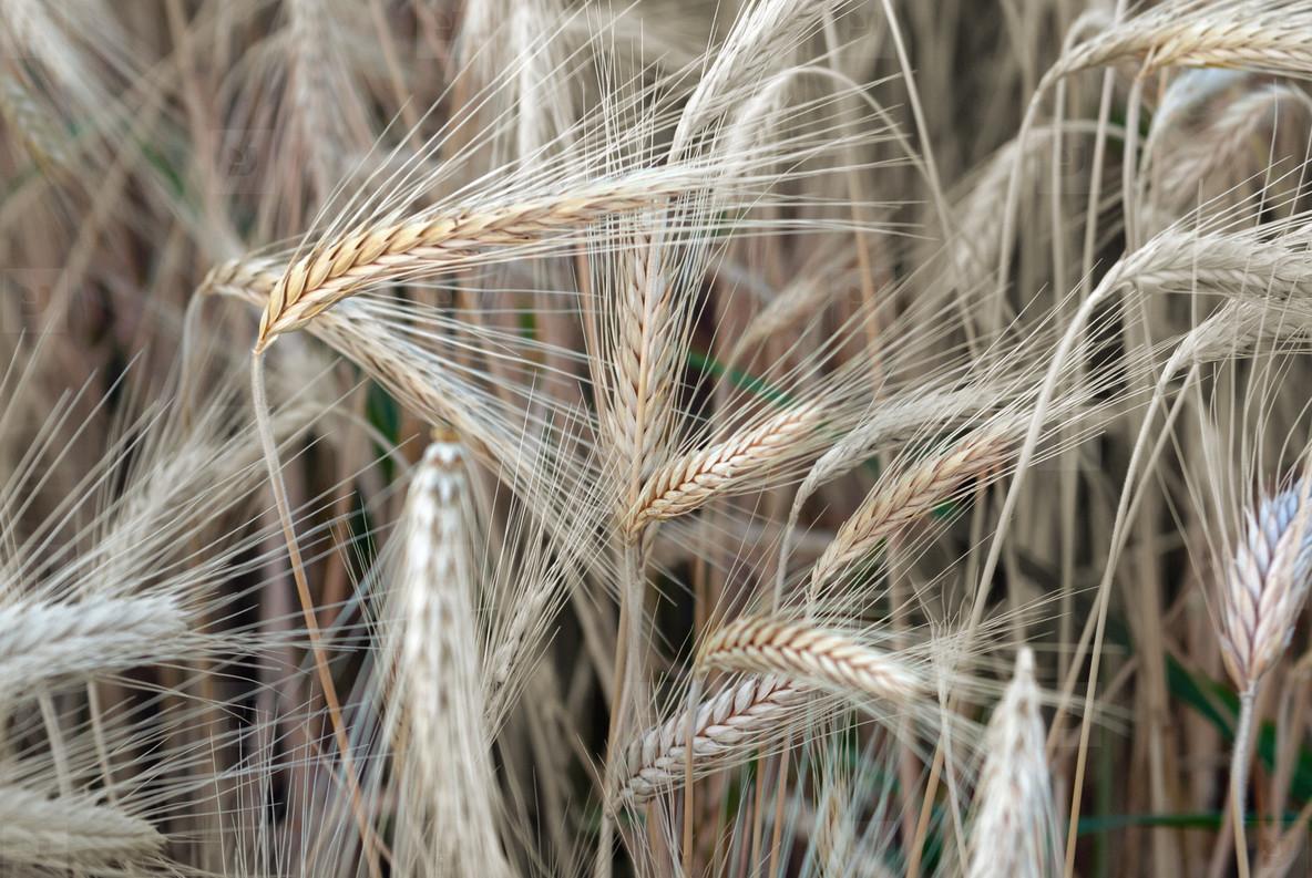 Wheat Field  1