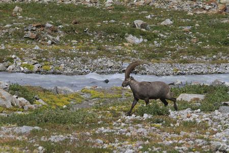 Alpine Ibex walking along rugged Breithorngletscher glacier Switzerland