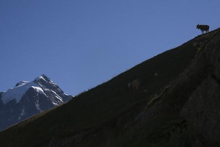 Cow on sunny mountain ridge Switzerland