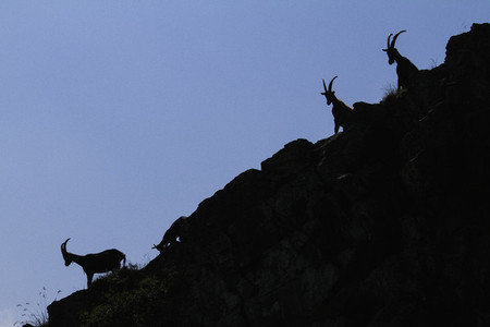 Silhouetted goats on steep hillside Italy