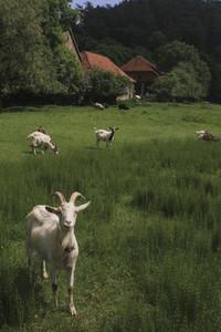 Portrait white goat grazing in rural field Germany